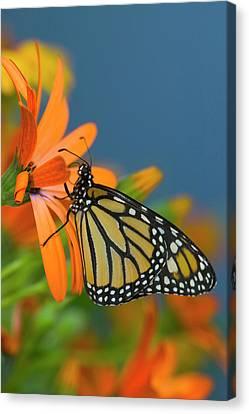 Monarch Butterfly, Danaus Plexippus Canvas Print by Darrell Gulin