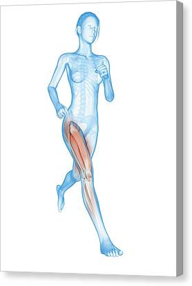 Muscular System Of A Runner Canvas Print