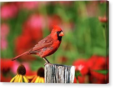 Cardinalis Canvas Print - Northern Cardinal (cardinalis Cardinalis by Richard and Susan Day