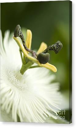 Passion Flower Passiflora Sp Canvas Print