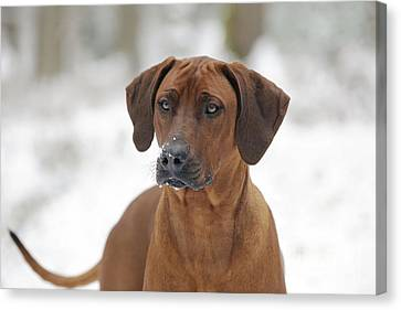Rhodesian Ridgeback Dog Canvas Print by John Daniels