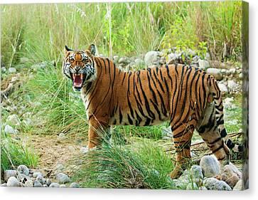 Royal Bengal Tiger (male Canvas Print by Jagdeep Rajput