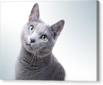 Russian Blue Cat Canvas Print by Nailia Schwarz