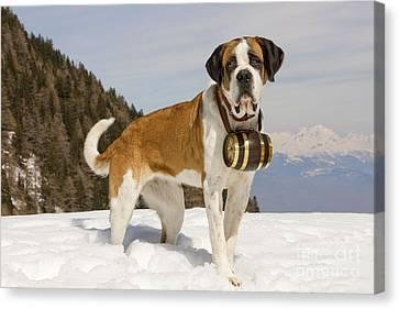 Saint Bernard Canvas Print by Jean-Michel Labat