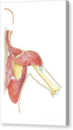 Shoulder Joint Movement, Artwork Canvas Print by Bo Veisland