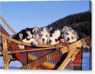 Siberian Husky Puppies Canvas Print by Rolf Kopfle