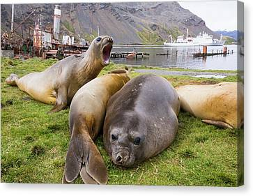 Southern Elephant Seal Canvas Print by Ashley Cooper