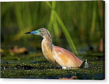 Squacco Heron (ardeola Ralloides Canvas Print by Martin Zwick