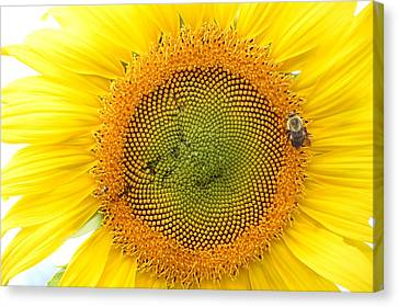 Sunflower Canvas Print by Dacia Doroff