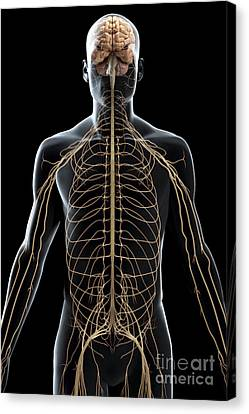 The Nerves Of The Upper Body Canvas Print by Science Picture Co