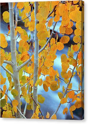 Populus Tremuloides Canvas Print - Usa, California, Bishop by Jaynes Gallery