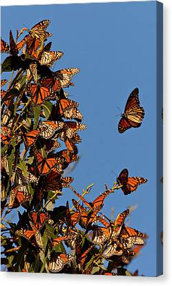 Usa, California, San Luis Obispo County Canvas Print by Jaynes Gallery