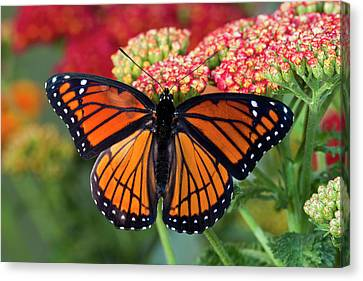 Viceroy Butterfly A Mimic Canvas Print by Darrell Gulin