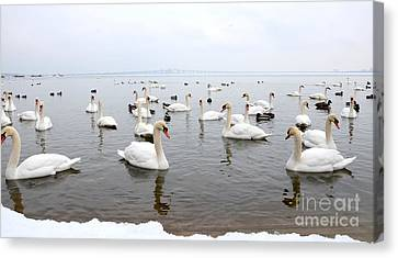 60 Swans A Swimming Canvas Print by Laurel Best