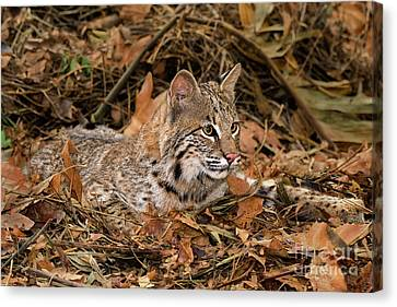 611000006 Bobcat Felis Rufus Wildlife Rescue Canvas Print by Dave Welling