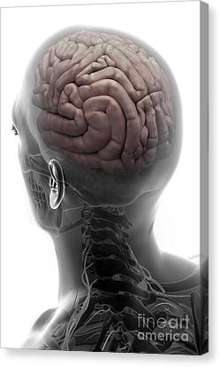 Human Brain Canvas Print by Science Picture Co