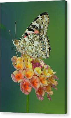 American Painted Lady Butterfly Canvas Print by Darrell Gulin