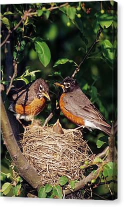American Robin Canvas Print - American Robin (turdus Migratorius by Richard and Susan Day