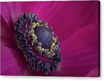 Anemone Canvas Print by Mark Johnson