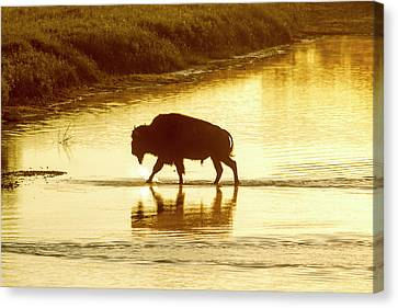 Bison Crossing The Little Missouri Canvas Print by Chuck Haney