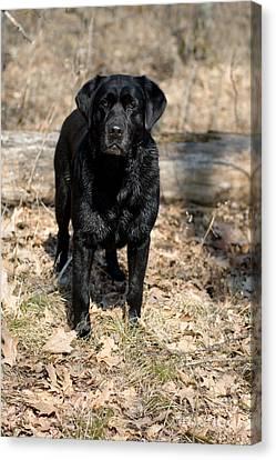 Black Labrador Retriever Canvas Print by Linda Freshwaters Arndt