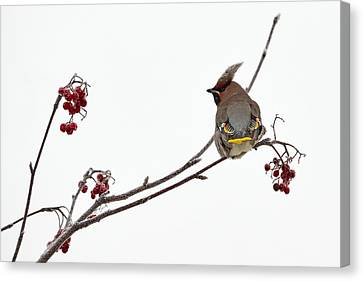 Bohemian Waxwings Eating Rowan Berries Canvas Print by Jouko Lehto