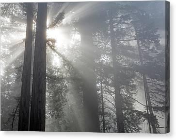 California, Del Norte Coast Redwoods Canvas Print