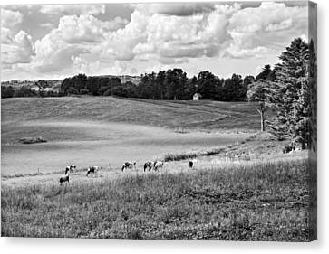 Cows Grazing On Grass In Farm Field Summer Maine Canvas Print