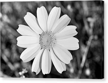 Daisy Flower Canvas Print by George Atsametakis