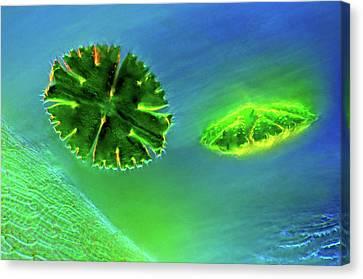 Desmids And Sphagnum Moss Canvas Print by Marek Mis