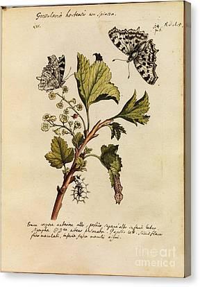 Erucarum Ortus Canvas Print by Maria Sibylla Merian