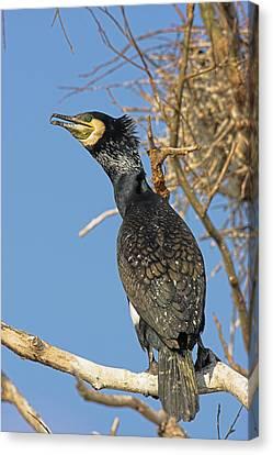 Eurasian Cormorant (phalacrocorax Carbo Canvas Print by Martin Zwick
