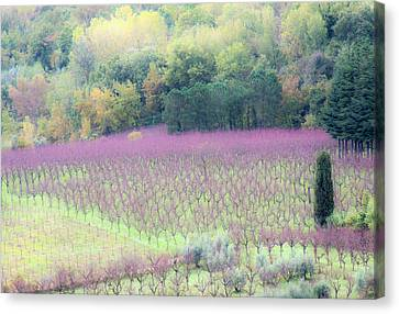 Grapevines Canvas Print - Europe, Italy, Tuscany by Julie Eggers