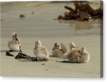 Ducklings Canvas Print - Falkland Islands, Carcass Island by Jaynes Gallery