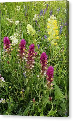 Field Cow-wheat (melampyrum Arvense) Canvas Print by Bob Gibbons