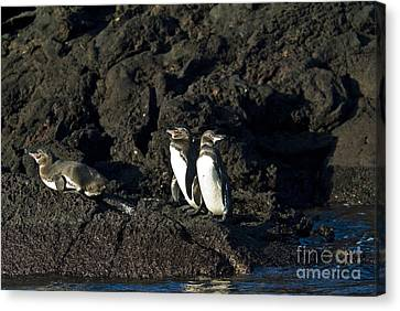 Galapagos Penguins Canvas Print by William H. Mullins