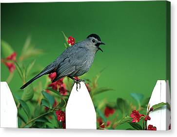 Gray Catbird (dumetella Carolinensis Canvas Print by Richard and Susan Day