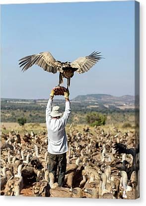 Griffon Canvas Print - Griffon Vulture Conservation by Nicolas Reusens