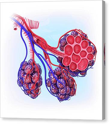 Human Alveoli Canvas Print