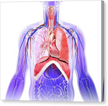 Human Respiratory System Canvas Print by Pixologicstudio