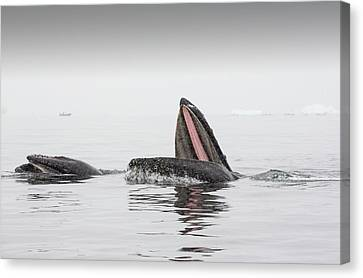 Humpback Whales Feeding On Krill Canvas Print