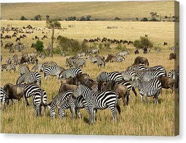 Kenya, Masai Mara Canvas Print by Jaynes Gallery