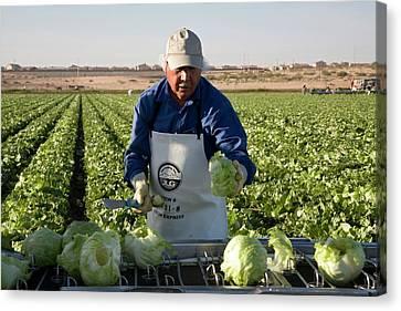 Lettuce Harvest Canvas Print