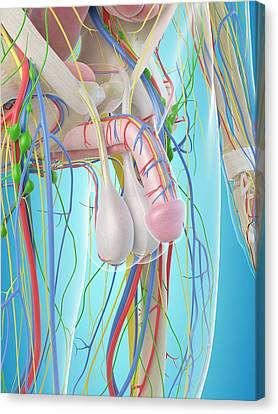 Male Penis Anatomy Canvas Print by Sciepro