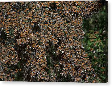 Monarch Butterflies Canvas Print by Carol Ailles