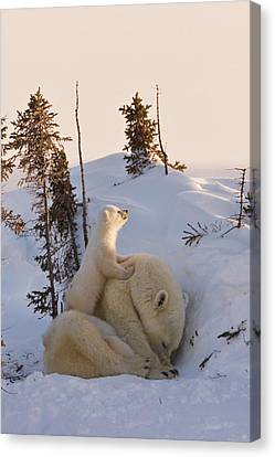 Mother Polar Bear With Three Cubs Canvas Print by Keren Su