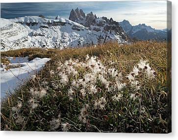 Avens Canvas Print - Mountain Avens (dryas Octopetala) by Bob Gibbons