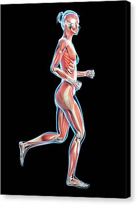 Muscular System Of Runner Canvas Print by Sebastian Kaulitzki