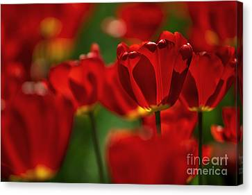 Flower Bed Canvas Print - Red And Yellow Tulips by Nailia Schwarz
