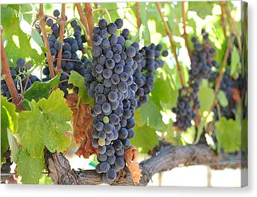 Red Grapes On The Vine Canvas Print by Brandon Bourdages